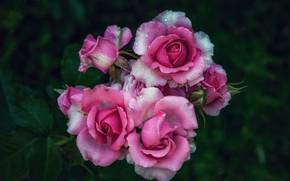 Картинка листья, капли, цветы, темный фон, розы, розовые, розовый куст