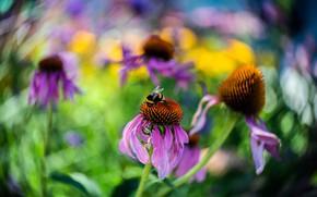 Картинка лето, макро, цветы, размытие, сад, розовые, ярко, шмель, боке, рудбекия
