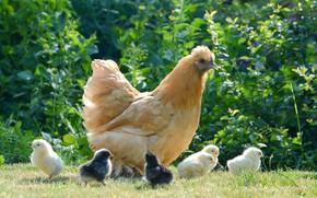 Картинка цыплята, курица, луг