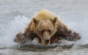 Картинка вода, медведь, зверь