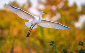 Картинка птица, крылья, клюв, большая белая цапля