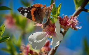 Картинка небо, макро, цветы, синева, фон, бабочка, ветка, весна, лепестки, сакура, насекомое, розовые, боке