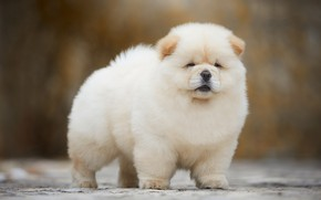 Картинка белый, фон, собака, светлый, пушистый, малыш, мордочка, щенок, ушки, чау-чау, комочек