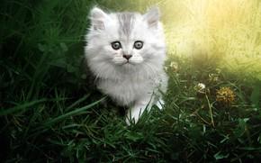 Картинка кошка, лето, трава, взгляд, свет, котенок, серый, светлый, пушистый, малыш, мордочка, прогулка, котёнок