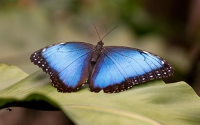 Картинка макро, фон, бабочка, листок, растение, насекомое, крылышки, голубая, боке