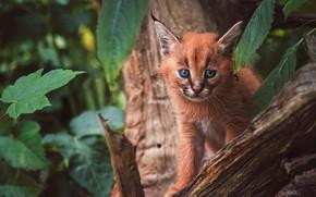 Обои взгляд, морда, листья, природа, поза, фон, дерево, малыш, рысь, сидит, дикая кошка, каракал, рысенок, рысёнок