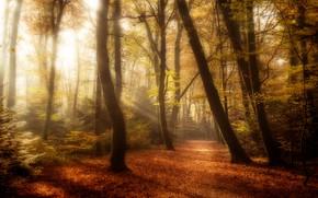 Картинка осень, лес, листья, солнце, лучи, свет, деревья, ветки, парк, стволы, листва, дорожка, аллея, тропинка, золотая …