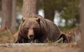 Картинка лес, взгляд, морда, природа, поза, медведь, лежит, бурый медведь
