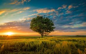 Картинка поле, небо, закат, дерево, колосья