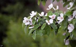 Картинка Цвет, весна, яблуня