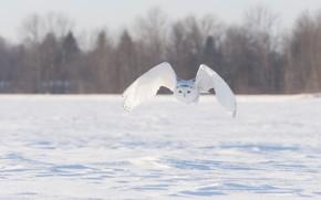Картинка зима, поле, снег, полет, птица, крылья, полярная сова