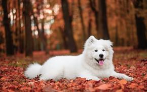 Картинка осень, язык, белый, деревья, парк, листва, собака, щенок, лежит, белая, осенние листья, самоед