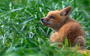 Картинка зелень, трава, взгляд, поза, малыш, лиса, сидит, лисенок, лисёнок