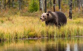 Картинка осень, лес, трава, деревья, природа, озеро, отражение, река, стволы, берег, медведь, мишка, пасть, кусты, водоем, …