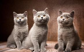 Картинка фон, котята, трио, троица, Британская короткошёрстная кошка, Наталья Ляйс