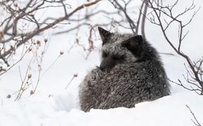 Картинка зима, снег, ветки, лиса, спит, лисица, чернобурка, чернобурая, свернулась клубочком, чернобурая лиса