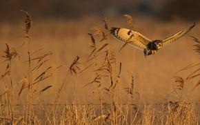 Картинка поле, лето, полет, сова, птица, стебли, ограждение