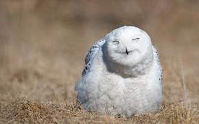 Картинка природа, сова, птица, портрет, белая, выражение, полярная, закрытые глаза, улыбочка, полярная сова