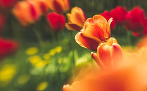 Картинка цветы, весна, май, тюльпаны