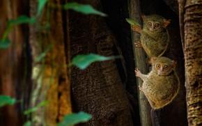 Картинка Индонезия, примат, восточный долгопят, Природный заповедник Тангкоко, остров Сулавеси, долгопят-привидение