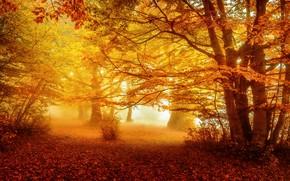 Картинка осень, лес, туман, парк, желтые листья, аллея, листопад, золотая осень