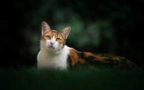 Картинка кошка, взгляд, фон, портрет, киска, боке