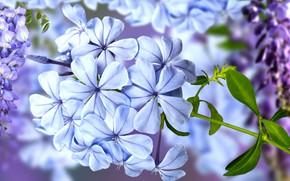 Картинка grafika, kwiaty, rozmycie, glicynia