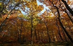 Картинка осень, лес, стволы, листва, кроны