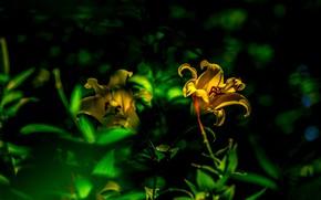 Картинка зелень, свет, темный фон, лилии, желтые, боке, лилейники