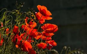 Картинка фото, Цветы, Красный, Маки, Бутон