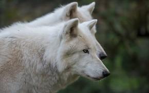 Картинка белый, морда, волк, портрет, пара, волки, профиль, два, полярные, полярный, два волка