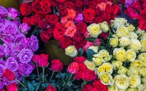 Картинка розы, разноцветные, красивые