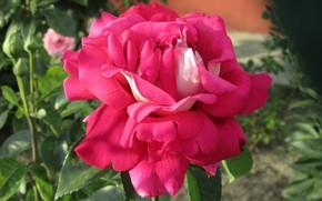 Картинка лето, цветы, роза, 2018, июнь, Meduzanol ©