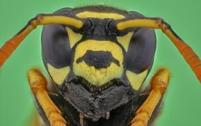 Картинка макро, оса, портрет, насекомое