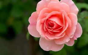 Картинка капли, фон, розовая, роза, лепестки
