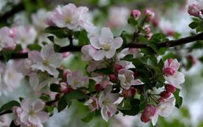 Картинка ветка, яблоня, цветение, Adina Voicu
