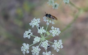 Картинка насекомые, на цветке, мушка