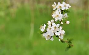 Картинка фон, весна, цветение, цветки, ветка вишни