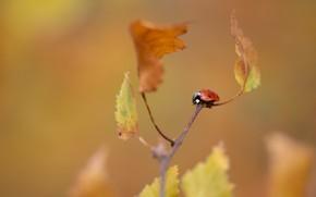 Картинка осень, природа, божья коровка