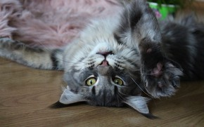 Картинка кошка, кот, взгляд, морда, поза, серый, фон, отдых, релакс, лапа, пол, лежит, мех, мейн-кун