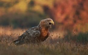 Картинка осень, трава, природа, птица, хищник, орёл, крик, Łukasz Sokół