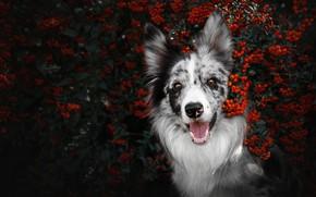 Картинка осень, язык, взгляд, морда, ветки, природа, ягоды, портрет, собака, плоды, пасть, красные, рябина, бордер-колли, пестрая
