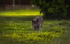Картинка кошка, трава, кот, взгляд, серый, куст, прогулка, лужайка, крадется, британский