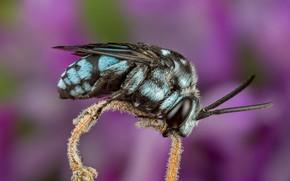 Картинка макро, пчела, фон, сиреневый, стебель, насекомое, голубая