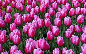 Картинка поле, цветы, весна, тюльпаны, розовые, бутоны, клумба, много, плантация