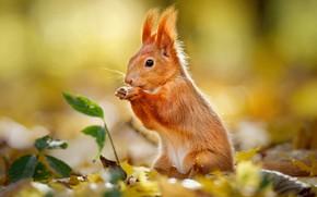 Картинка осень, листва, белка, рыжая, боке