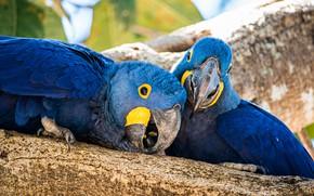 Картинка птицы, дерево, попугай, пара, попугаи, синие, две птицы, два попугая