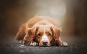 Картинка грусть, осень, глаза, взгляд, морда, фон, портрет, собака, лапы, лежит, рыжая, лабрадор, боке, ретривер