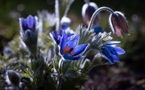 Картинка цветы, синие, анемоны, прострел