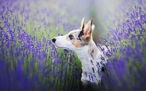 Картинка поле, взгляд, морда, цветы, поза, фон, портрет, собака, щенок, профиль, уши, лаванда, пятнистый, размытый, ушастик, …